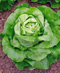 Lettuce Seed, Butterhead Buttercrunch, Heirloom, Organic, NON-GMO Seeds, - Country Creek LLC