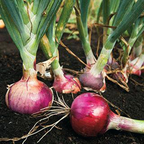 ONION, RED BURGANDY, HEIRLOOM, ORGANIC 25+ SEEDS, RED SWEET, GREAT FOR COOKING