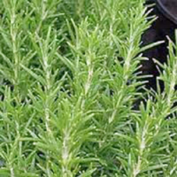ROSEMARY, HERB SEED, HEIRLOOM, ORGANIC, NON GMO SEEDS, HEALTHY AND TASTY HERB. - Country Creek LLC