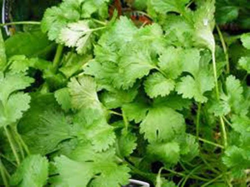 CILANTRO, SLOW BOLT, HEIRLOOM, ORGANIC 25+ SEEDS, GREAT FRESH OR DRIED HERB