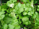 CILANTRO, SLOW BOLT, HEIRLOOM, ORGANIC , NON GMO SEEDS, GREAT FRESH OR DRIED HERB - Country Creek LLC