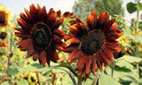 SUNFLOWER, AUTUMN BEAUTY SEEDS ORGANIC NEWLY HARVESTED - Country Creek LLC