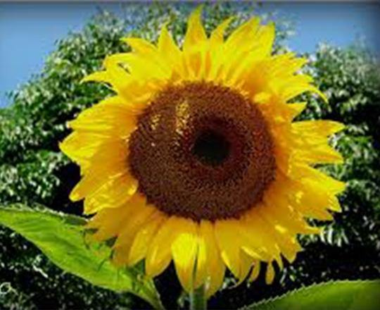 SUNFLOWER SEEDS , MAMMOTH RUSSIAN, SEEDS ORGANIC NEWLY HARVESTED, 7-10 Foot Tall - Country Creek LLC