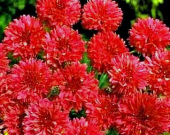 Bachelor Button, Tall Red Seeds, Organic Seeds, Beautiful Bright Blooms, - Country Creek LLC