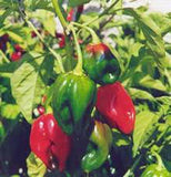 PEPPER, HABENERO CHILE , HEIRLOOM, ORGANIC NON-GMO SEEDS, SPICY GREAT FRESH N COOKED - Country Creek LLC