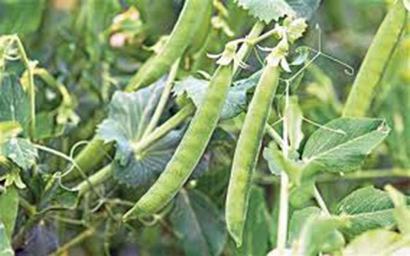 PEAS, LINCOLN, HEIRLOOM, ORGANIC NON-GMO SEEDS, A GREAT TASTING PEA, FRESH OR COOKED - Country Creek LLC