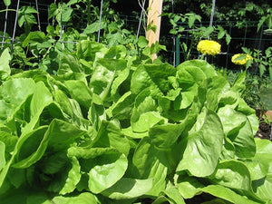LETTUCE, BIBB LEAF,  HEIRLOOM, ORGANIC 25+ SEEDS, DELICIOUS HEALTHY SALAD GREENS