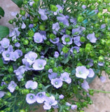 Blue Flax Seed,  Flower Seeds, Organic, Beautiful Striking Blue Flax Flowers - Country Creek LLC