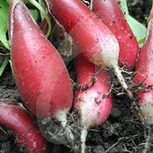 RADISH, FRENCH BREAKFAST , HEIRLOOM, ORGANIC 50+ SEEDS, TASTY LONG SALAD RADISH