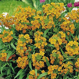 SIBERIAN WALLFLOWER SEEDS ORGANIC NEWLY HARVESTED - Country Creek LLC