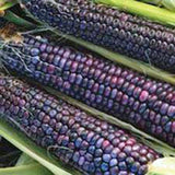 CORN, BLUE HOPI,  HEIRLOOM, ORGANIC, NON- GMO SEEDS, GREAT FOR MAKING BLUE CORN FLOUR - Country Creek LLC