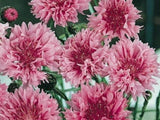 Bachelor Button, Tall Pink Seeds, Organic Seeds, Beautiful Bright Blooms, - Country Creek LLC