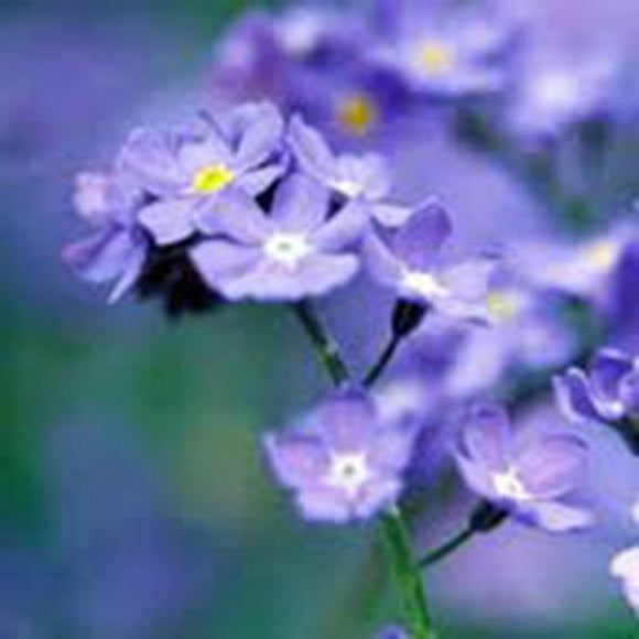 Forget Me Not Seeds Organic Newly Harvested, Beautiful Abundant Blooms . - Country Creek LLC
