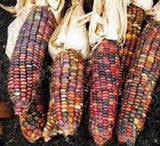 CORN, RAINBOW,ORNAMENTAL, INDIAN, HEIRLOOM, ORGANIC NON GMO SEEDS, MULTICOLOR CORN - Country Creek LLC