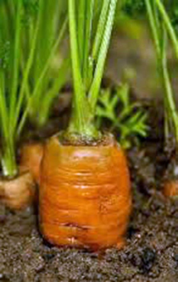 CARROT, DANVERS 126, HEIRLOOM, ORGANIC, NON GMO SEEDS, A DELICIOUS AND HEALTHY VEGETABLE - Country Creek LLC