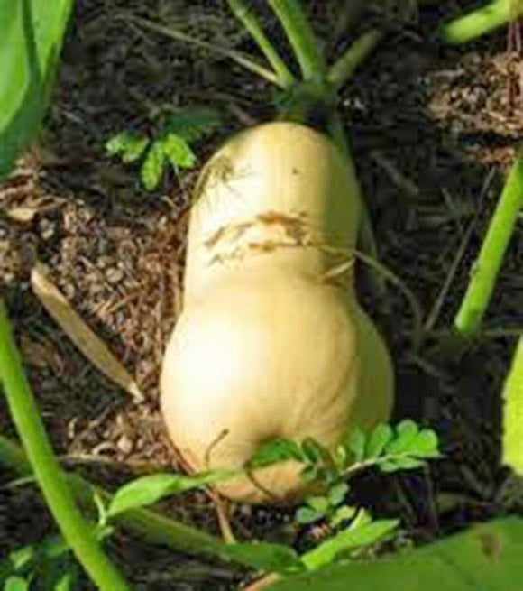 SQUASH SEEDS ,  WALTHAM BUTTERNUT SQUASH , HEIRLOOM, ORGANIC, NON-GMO SEEDS, SIMPLY DELICIOUS - Country Creek LLC