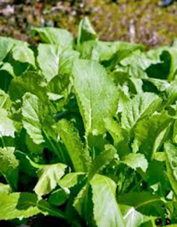 MUSTARD GREENS, OLD FASHIONED, HEIRLOOM, ORGANIC NON -GMO SEEDS, GREAT FOR SALADS - Country Creek LLC