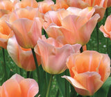 Tulip Bulbs , Apricot Tulips, Tulip flowers are spectacular in their simplicity and sheer beauty. - Country Creek LLC