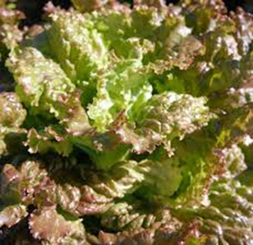 LETTUCE, RED ROMAINE,, HEIRLOOM, ORGANIC 25+ SEEDS, CRISP, DARK LEAVES