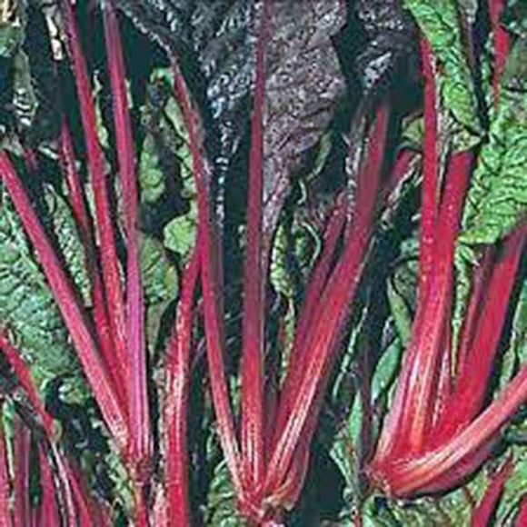 SWISS CHARD SEEDS ,RUBY RED SWISS CHARD , HEIRLOOM, ORGANIC SEEDS, SWEET CRISP LEAVES & RED STEMS - Country Creek LLC