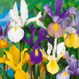 Iris Bulbs , Bulb  Dutch Mix, Perennial Iris Bulbs - Country Creek LLC