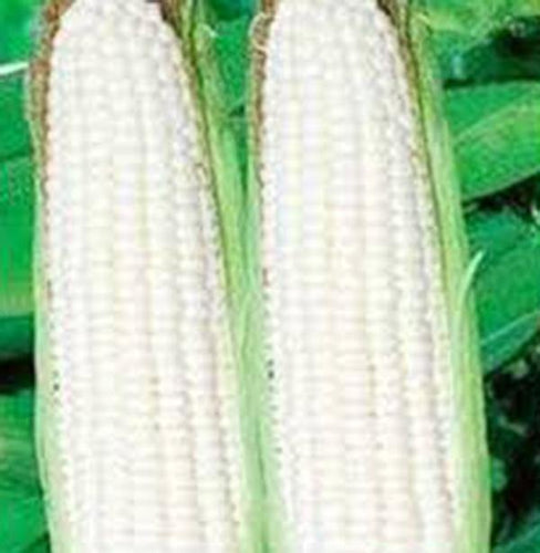 CORN, WHITE, STOWELLS EVERGREEN, HEIRLOOM, ORGANIC 20+ SEEDS, DELICIOUS N SWEET