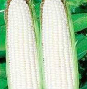 CORN, WHITE, STOWELLS EVERGREEN, HEIRLOOM, ORGANIC SEEDS, DELICIOUS N SWEET - Country Creek LLC