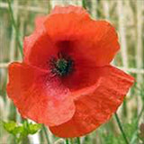 POPPY, SHIRLEY  SEEDS ORGANIC, BRIGHT RED FLOWER, LONG LASTING RED BLOOMS - Country Creek LLC