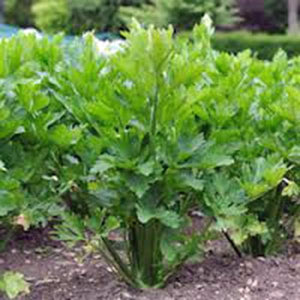 CELERY, UTAH TALL, 25+ SEEDS HEIRLOOM ORGANIC, CRISP SWEET FLAVOR GREAT TASTING
