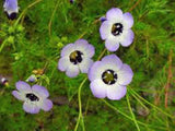BIRD'S EYE GILIA TRICOLOR SEEDS ORGANIC, BEAUTIFUL DELICATE LAVENDER BLOOMS - Country Creek LLC