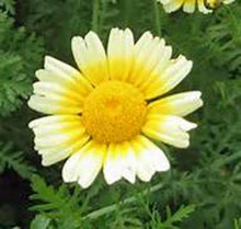 GARLAND DAISY 100+ SEEDS ORGANIC NEWLY HARVESTED, BEAUTIFUL BLOOMING FLOWER