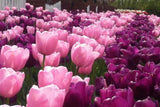 Tulip Princess Mix TULIP FLOWER BULBS, THIS IS A BEAUTIFUL MIX OF PINK AND PURPLE TULIP BULBS. - Country Creek LLC