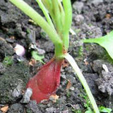 RADISH SEEDS , FRENCH BREAKFAST , HEIRLOOM, ORGANIC NON-GMO  SEEDS, TASTY LONG SALAD RADISH - Country Creek LLC