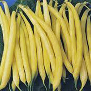 BEAN SEED , GOLDEN WAX BUSH, HEIRLOOM, ORGANIC, NON GMO SEEDS, GREAT TASTING FRESH N COOKED - Country Creek LLC