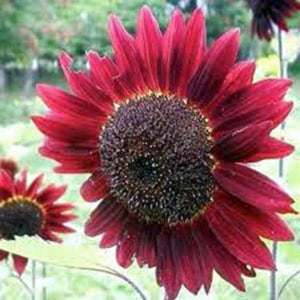 RED SUN SUNFLOWER SEEDS ORGANIC, BEAUTIFUL BRIGHT RED BLOOMS, MULTIPLE HEADS - Country Creek LLC