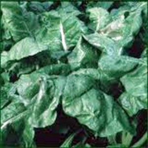 SPINACH SEED, AMERICA, HEIRLOOM,ORGANIC, NON GMO, SEEDS, SPINACH SEEDS - Country Creek LLC