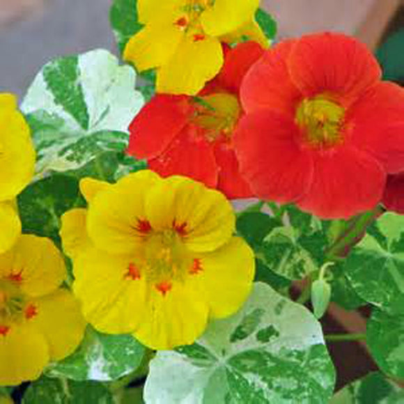 NASTURTIUM SEEDS ,  DOUBLE GLEEM MIX , SEEDS ORGANIC, BRIGHT COLORFUL BLOOMS - Country Creek LLC