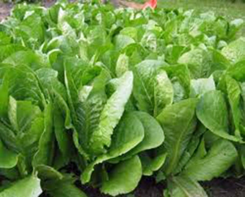 ROMAINE LETTUCE, PARIS ISLAND, HEIRLOOM, ORGANIC 50+ SEEDS, GREAT FOR SALADS
