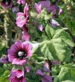 ROSE MALLOW, SEEDS, ORGANIC, BEAUTIFUL BRIGHT ROSE FLOWERS, FLOWER, GARDEN. - Country Creek LLC