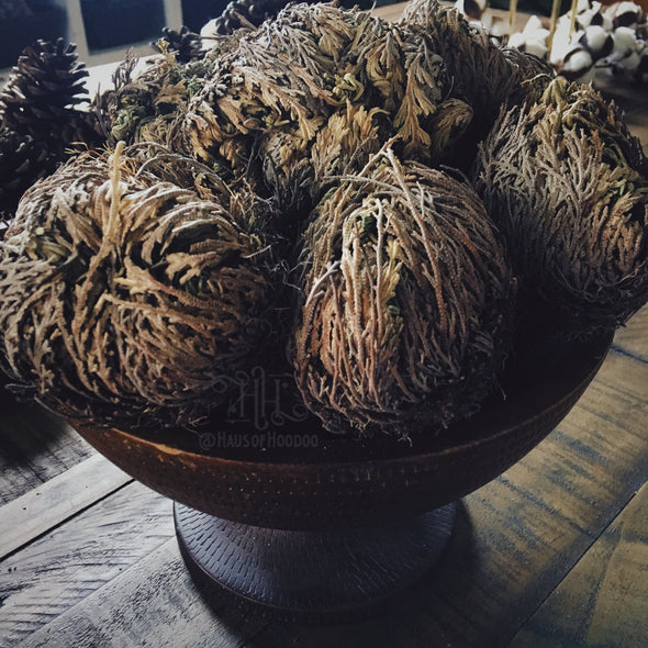 Rose of Jericho Plant