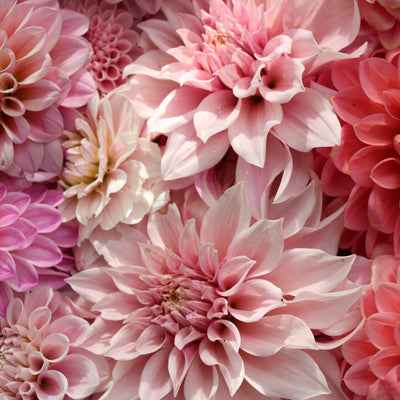 Floret Flower Farm's | Discovering Dahlias   Book Launch