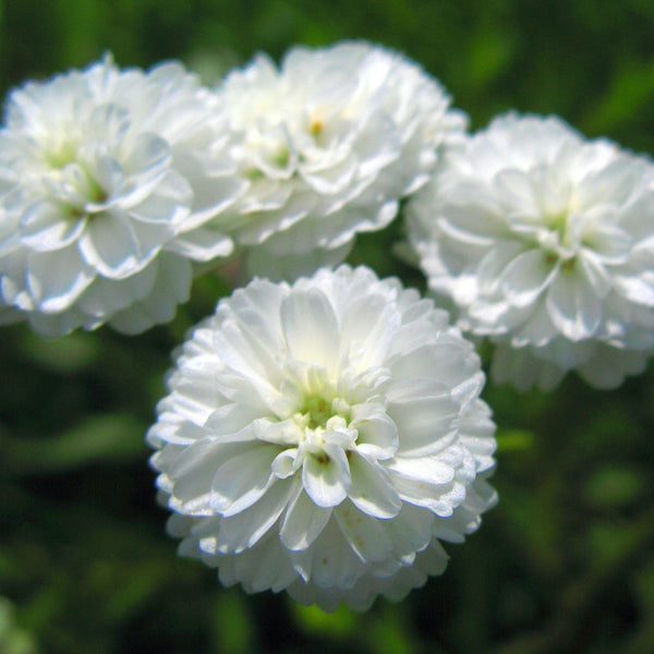 Puriri Lane | Achillea ptarmica | The Pearl
