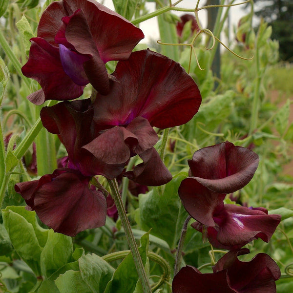 Puriri Lane | Lathrys odoratus | Sweetpea | Windsor