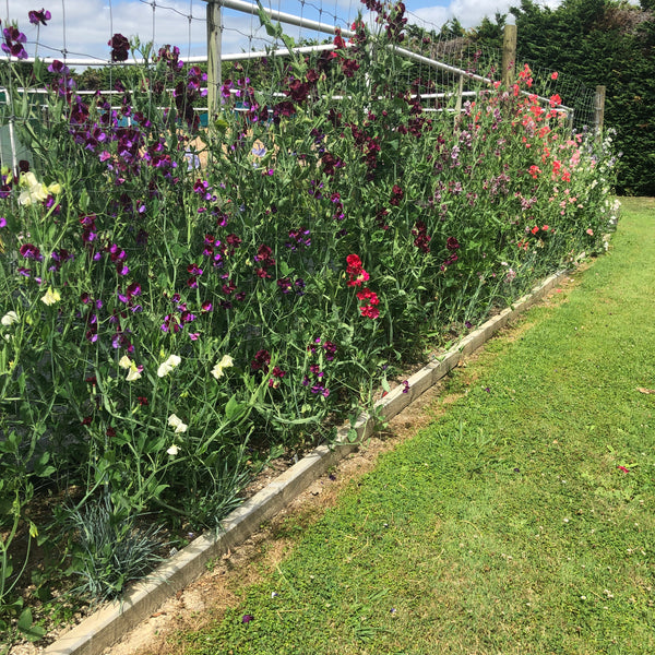 Puriri Lane | Lathyrus odoratus | The Cutting Garden