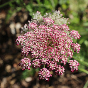 Puriri Lane | Daucus carota | Chocolate Kisses
