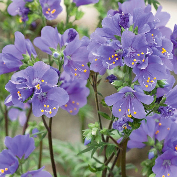 Puriri Lane | Polemonium yezoense  | Purple Rain