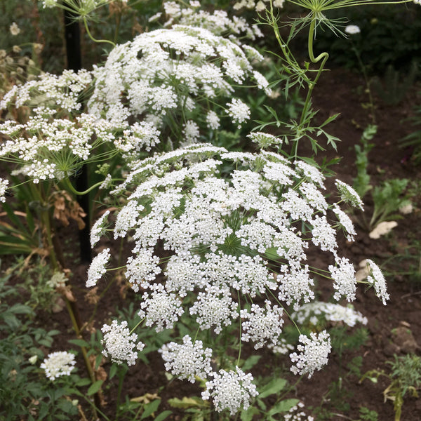 Puriri Lane | Ammi majus | Graceland