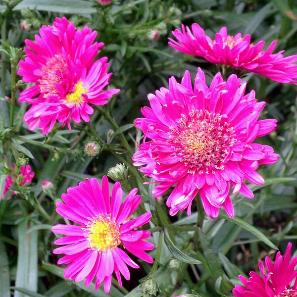 Puriri Lane | Aster Novi-Belgii | Royal Ruby
