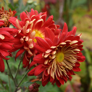 Chrysanthemum | Touch of gold
