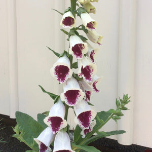 Puriri Lane | Digitalis purpurea | Elsey Kelsey